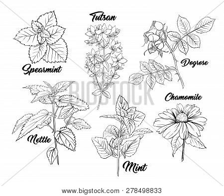 Tea Herbs Botany Plants Engraving Set. Sketch Isolated Hand Drawn Contour Illustration Of Stinning D