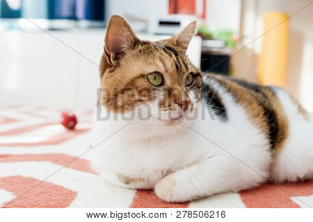 Beautiful Elegant Cat In Cozy Warm Home Environment Having Fun Lying On The Carpet And