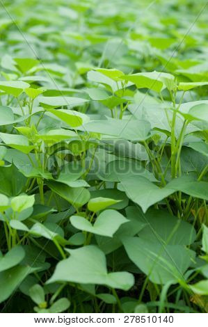 Green Sweet Potato Leaves In Growth At Filed
