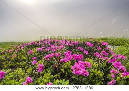 Lit By Sun Lavishly Blooming On Grassy Mountain Meadow Dense Rhododendron Rue Bush With Bright Pink
