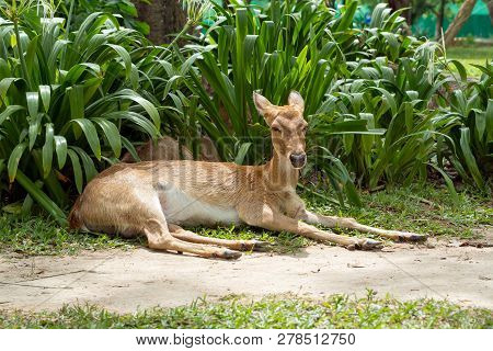 Eld Deer Eating During Laying On The Grass