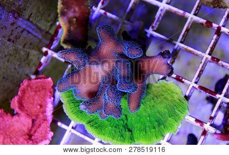 Green / Blue Polyp Pink Stylophora Sps Coral