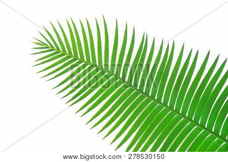 Green Leaves Of Gum Palm Or Giant Dioon (dioon Spinulosum Dyer) The Tropical Cycad Palm Plant On Whi