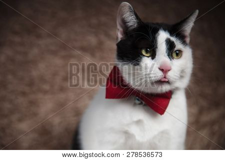 head of gentleman metis cat looking down to side with tongue exposed while sitting on brown fur background poster