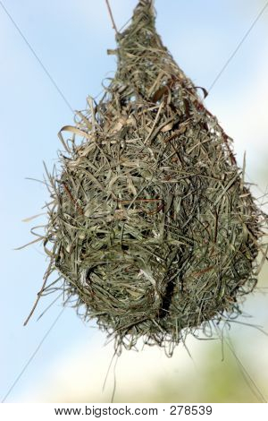 bird nest hanging from a branch poster