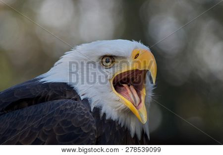 Close Up Of A Bald Eagle Calling To Its Mate, Showing Its Yellow Open Beak And Bright Eyes.