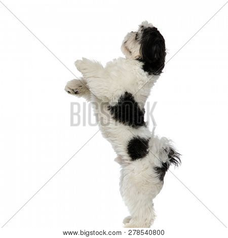 side view of playful shih tzu standing on two legs on white background and looking up to side