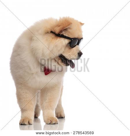 4d4c0da97a cool chow chow wearing red bowtie and sunglasses looks down to side while  standing on white