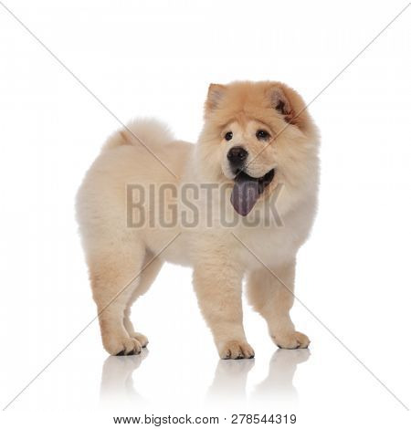 side view of excited chow chow looking to side while panting and standing on white background