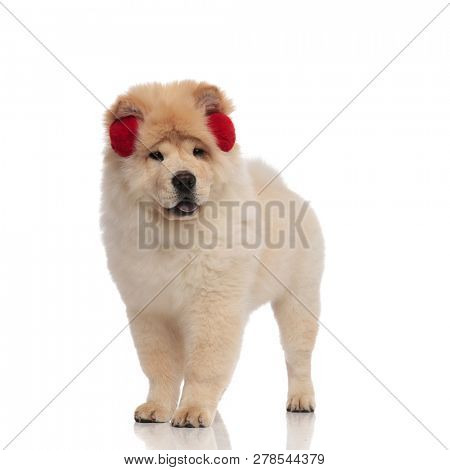 cute chow chow wearing red earmuffs looks to side with mouth open and tongue exposed while standing on white background poster