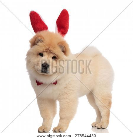 classy chow chow wearing red bunny ears headband standing on white background and looking down poster