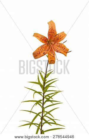 Branch Of  Orange Lilies   Asian Hybrids With   Blossoming Flower  On A White Background Isolated