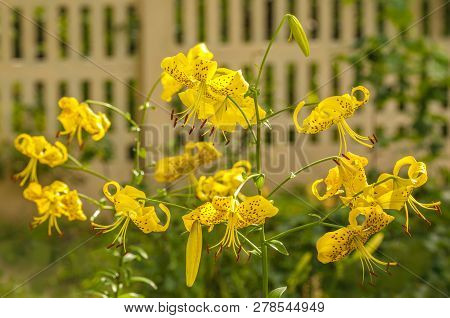 Branch Of  Yellow Tiger Lily