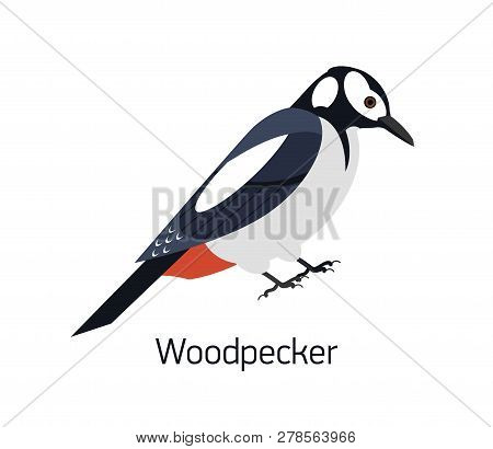 Woodpecker Isolated On White Background. Beautiful Forest Omnivorous Bird, Woodland Inhabitant. Funn