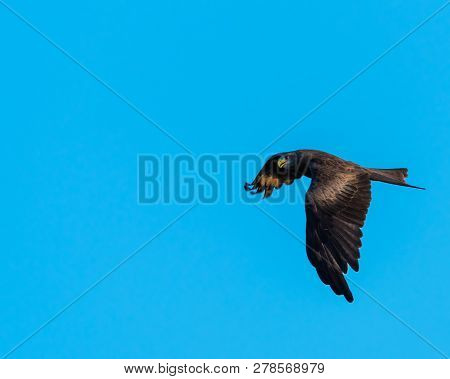 A Yellow Billed Kite (milvus Aegyptius) Flying Against An Empty Blue Sky.