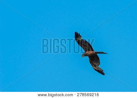 A Yellow Billed Kite (milvus Aegyptius) Hovering In The Air While Hunting.