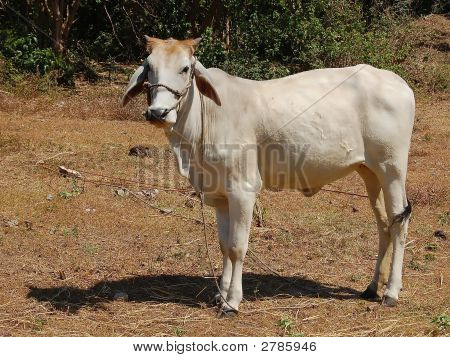 Cow With Shadow