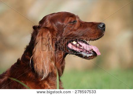 Cute Drooling Irish Setter Pet Dog Panting