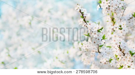 Delicate Spring Nature Cherry Blossom Background. Blossoming Time Lapse Of Cherry Trees. Branch Whit