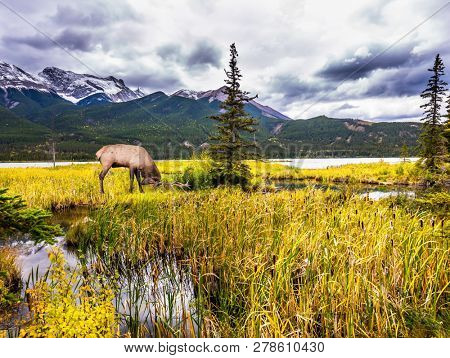Rain clouds hover over the valley along the Pocahontas road in the Rocky Mountains of Canada. Deer with horns grazing n the grass. The concept of ecological, active and photo tourism