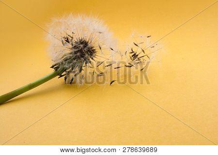 White Dandelion flower blown on yellow background poster
