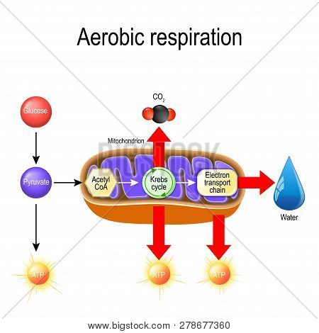 Aerobic Respiration. Cellular Respiration. Pyruvate Enter The Mitochondria In Order To Be Oxidized B
