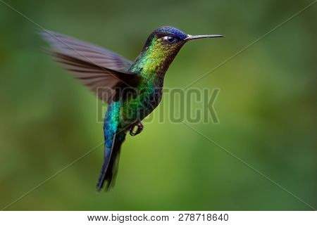 Fiery-throated Hummingbird - Panterpe Insignis Medium-sized Hummingbird Breeds Only In The Mountains