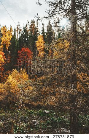 Vertical Shot Of The Huge Spruce Tree Overgrown With Moss On Its Branches With The Colorful Autumn T