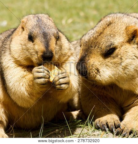Couple Of Funny Surprising Himalayan Marmots (groundhogs) With Biscuit On The Green Meadow In The Vi