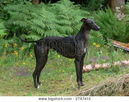 Black Galgo