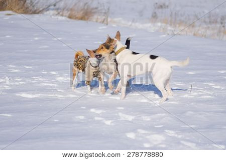 Two Mixed Breed White And Black Dogs Play Close With Basenji Wearing Coat On A Fresh Snow At Cold An