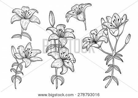 Lily Flowers. Blooming Lily. Hand Drawn Lines Flowers. Silhouette Of Lily Flowers Isolated On White