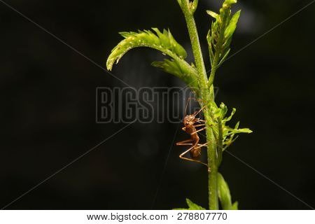 Fire Red Ant On Leaves In Nature Green Background, Macro View