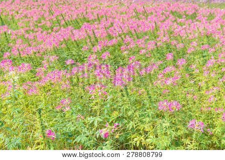 Beautiful Field Of Pink Garden Ranunculus And Bright.