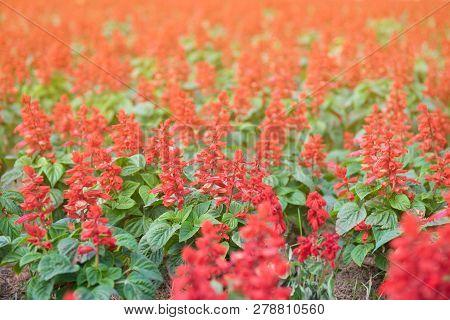 Field Of Beautiful Red Flower In Garden With Sunlight.