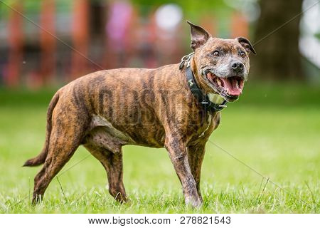 An Older Staffy Standing In A Field Smiling Looking To The Side Of The Camera.
