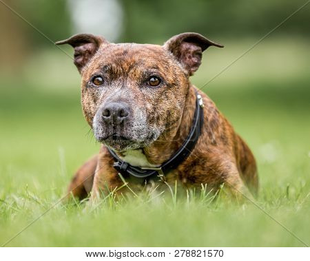 An Older Staffy Lying In Long Grass Looking At The Camera. Staffordshire Bull Terrier. Friendly Dog.