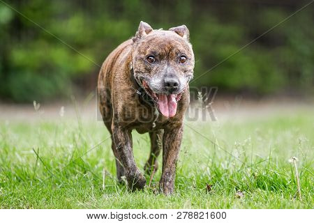 An Older Staffy Portrait Walking Towards The Camera With Its Mouth Open And Tongue Out Through Rough