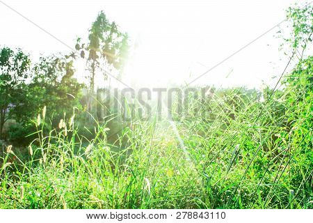 Grass Leaves With White Sun Light In The Morning, Flower Grass Beside Road, Green Leaves Of Grass In