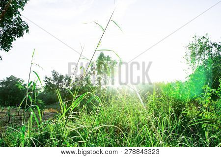 Rural Field On Early Morning, Agriculture Garden With Sun Light In The Morning, Green Leaves Of Gras