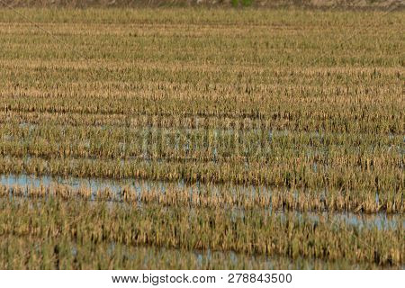 Green And Yellow Flooded Rice Field. Perfect And Natural Background. Albufera Natural Park, Valencia