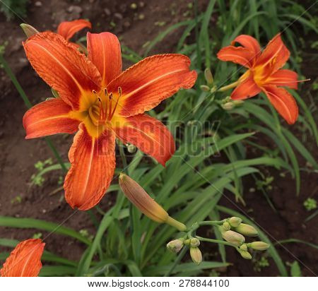 Luxury Flower Daylily In The Garden Close-up.a Daylily Is A Flowering Plant In The Genus Hemerocalli