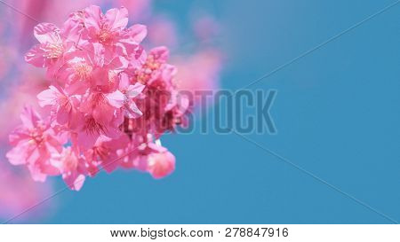 Beautiful Cherry Blossom Sakura In Spring Time Over Blue Sky, Cherry Blossoms On Blue Sky Background
