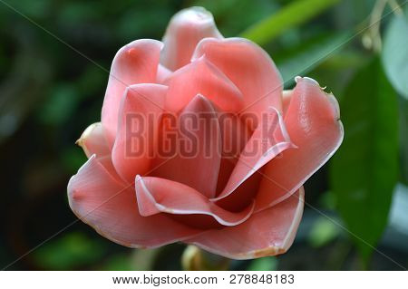 Pink Torch Ginger Flower, Etlingera Sp., Central Of Thailand