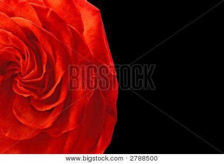 Scarlet Rose, Black Background.