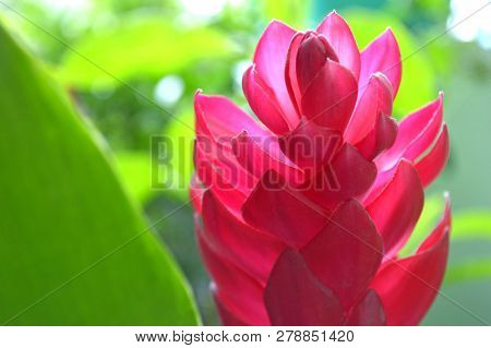 Red Ginger Flower, Alpinia Purpurata, Central Of Thailand