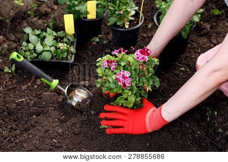Gardener Woman Planting Flowers In Her Garden, Garden Maintenance And Hobby Concept
