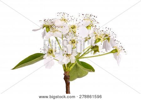Stem With Leaves And Flowers Of An Asian Pear Tree (pyrus Pyrifolia) Isolated Against A White Backgr