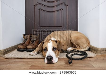 Dog With A Leash Waiting For A Walk. Staffordshire Terrier Dog With A Leash Lying On A  Doormat Near