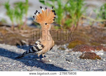 Hoopoe posing with grub in his beak poster